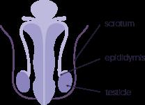 sperm-prcdr2.png